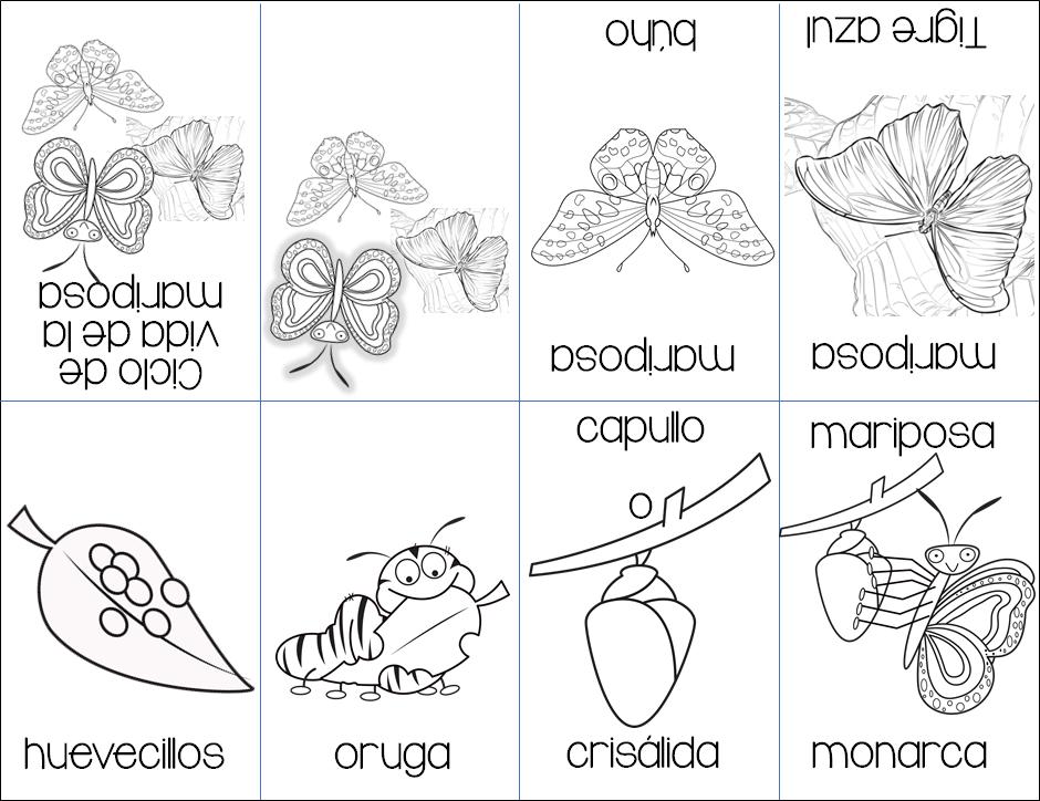 Fabuloso mini libro del ciclo de vida de las mariposas | Material ...